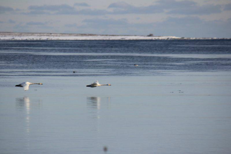Sångsvanar över isen. Foto: Arne Eklund