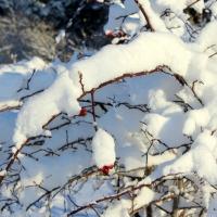 Nyponros i snö. Foto: Arne Eklund