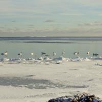 Knölsvan vid iskanten. Foto: Arne Eklund